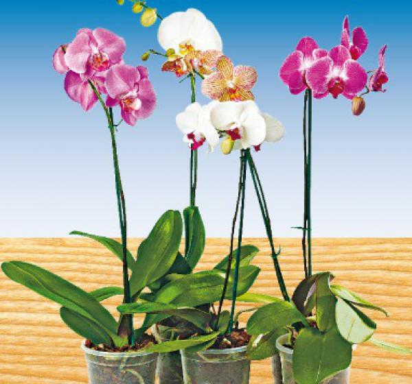 schmetterlings orchidee von penny markt ansehen. Black Bedroom Furniture Sets. Home Design Ideas