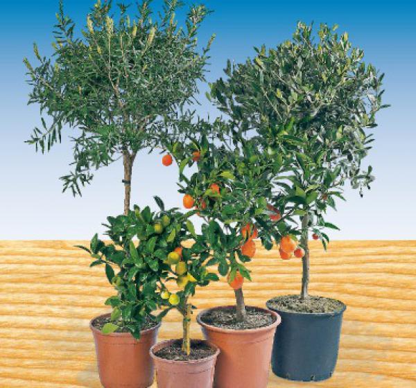 mediterrane pflanzen von penny markt ansehen. Black Bedroom Furniture Sets. Home Design Ideas