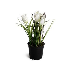 Tulpen im Topf, weiß, ca H:23 cm