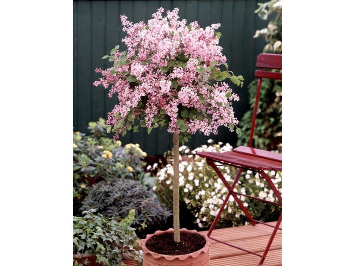 Bild 2 von Flieder Palibin® als Stämmchen gezogen, rosa blühend, 1 Pflanze