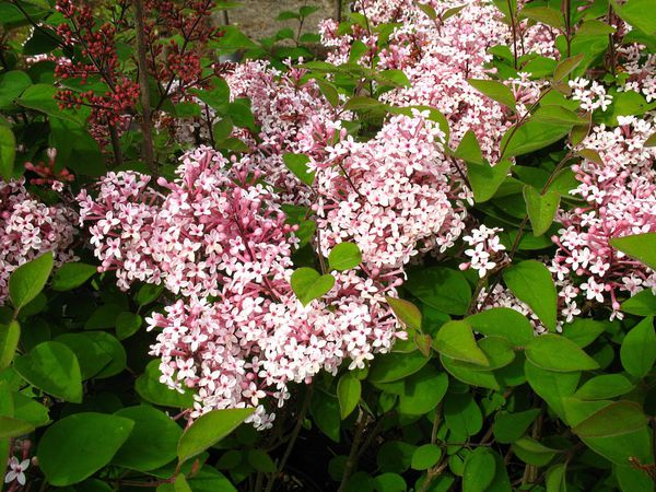 flieder palibin als st mmchen gezogen rosa bl hend 1 pflanze von lidl ansehen. Black Bedroom Furniture Sets. Home Design Ideas