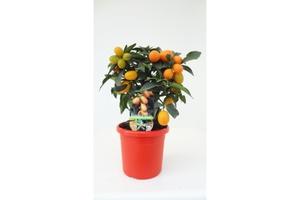 Citrus Mix ca.40 cm hoch