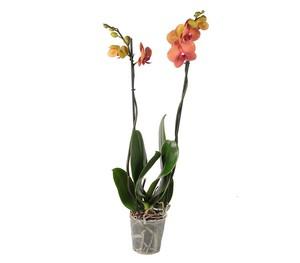 Dehner Premium Phalaenopsis 'Surf Song'
