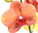Bild 3 von Dehner Premium Phalaenopsis 'Surf Song'