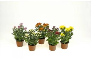 Chrysanthemen 9 cm Topf