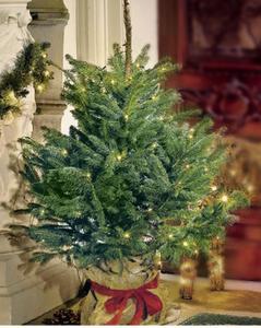 Getopfter Weihnachtsbaum, Blaufichte