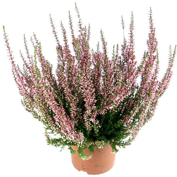 besenheide calluna vulgaris knospenbl her topf 10cm. Black Bedroom Furniture Sets. Home Design Ideas