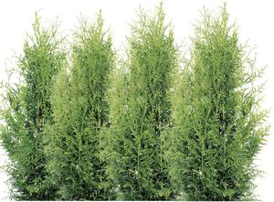 "Lebensbaum, ""Brabant"""