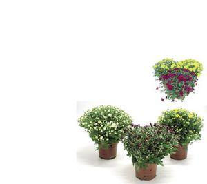 Chrysanthemen Medi Busch