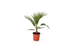 Washingtonia Palme ca.60/80 cm hoch