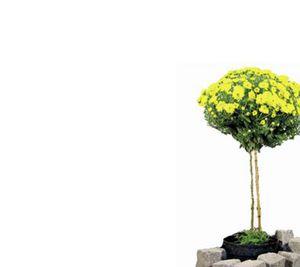 Chrysanthemen Stämmchen