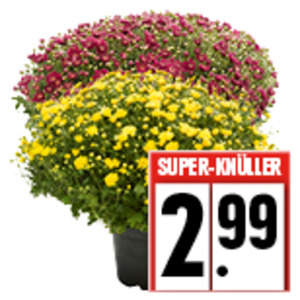 Chrysanthemen Busch