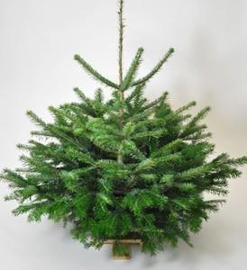 Holsteintanne Nordmanntanne 1,00 - 1,25m Weihnachtsbaum
