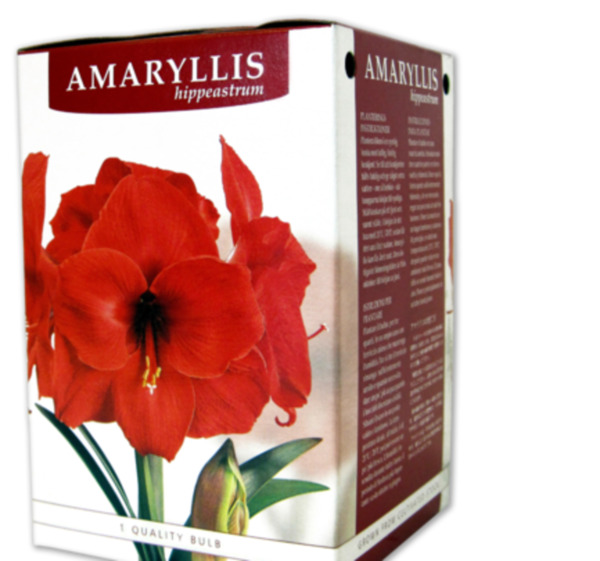amaryllis von penny markt ansehen. Black Bedroom Furniture Sets. Home Design Ideas