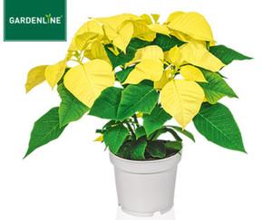 GARDENLINE® Weihnachtliche Blühpflanze
