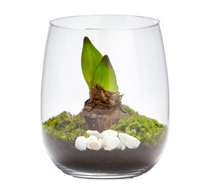 Amaryllis-Arrangement, Glas-Windlicht