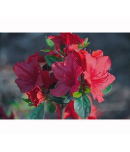 Zwergrhododendron in Sorten