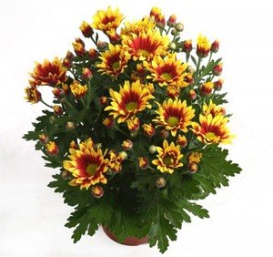 Sommerchrysantheme ,  14 cm Topf