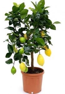 Zitronen Stamm ,  24 cm Topf