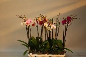 Orchidee ,  12 cm Topf