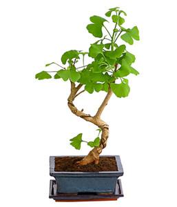 Outdoor-Bonsai - Ginkgobaum