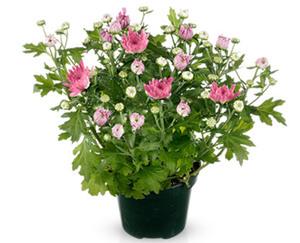 GARDENLINE®  Blühende Chrysantheme