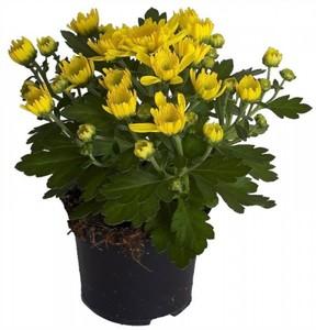 Chrysantheme ,  12 cm Topf