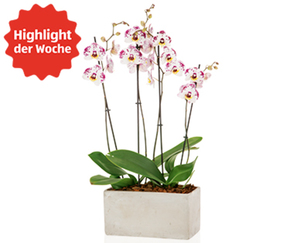 GARDENLINE®  Exklusives Orchideen-Arrangement