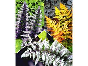Winterharte Japanische Schmuck-Farn-Kollektion, 3 Pflanzen Dryopteris, Athyrium