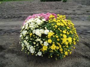 Chrysanthemen Busch ,  19 cm Topf