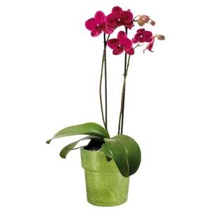 Phalaenopsis Schmetterlingsorchidee 1 oder 2 triebig