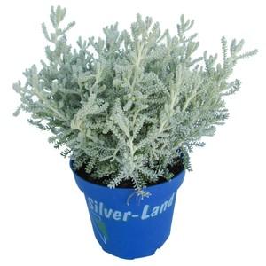 Silver Land Mix im Blumentopf 12 cm