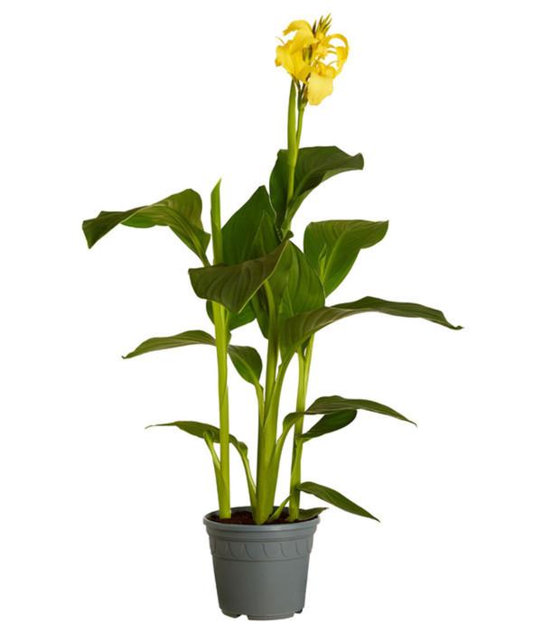 Indisches Blumenrohr von Dehner für 4,99 € ansehen! » DISCOUNTO.de