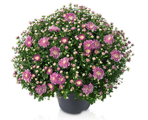 GARDENLINE®  Bauernchrysantheme