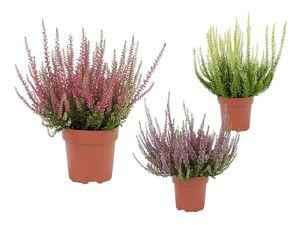 Heidekraut (Calluna vulgaris)