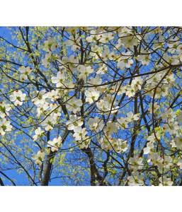 Blumen-Hartriegel