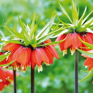 Finest Garden Kaiserkrone-Zwiebeln