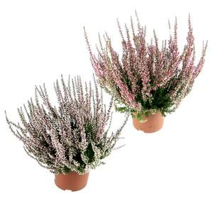 Calluna Vulgaris Gardengirls im Blumentopf 10 cm