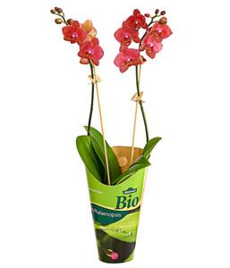 Dehner Bio Schmetterlingsorchidee