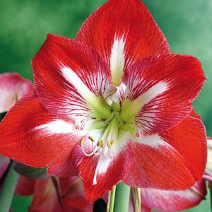 Finest Garden Amarylliszwiebel