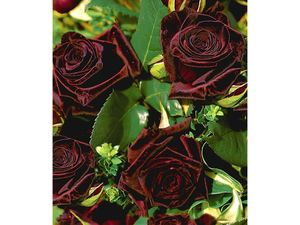 Edelrosen 'Black Baccara®', 1 Pflanze