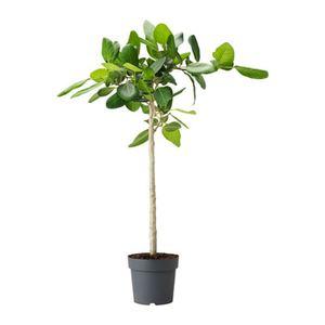 FICUS BENGHALENSIS   Pflanze