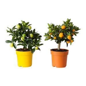CITRUS   Pflanze