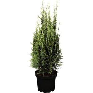 "Scheinzypresse ""White Spot"" Höhe ca. 50 - 60 cm Topf ca. 5 l Chamaecyparis"