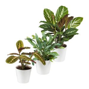 GARDEN FEELINGS  Außergewöhnliche Grünpflanze