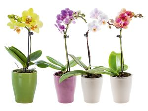Mini-Schmetterlingsorchidee (Phalaenopsis)