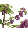 Bild 3 von Schönfrucht - Liebesperlenstrauch 'Profusion'