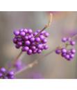 Bild 4 von Schönfrucht - Liebesperlenstrauch 'Profusion'