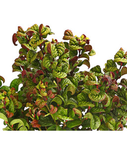 Traubenheide 'Curly Red'