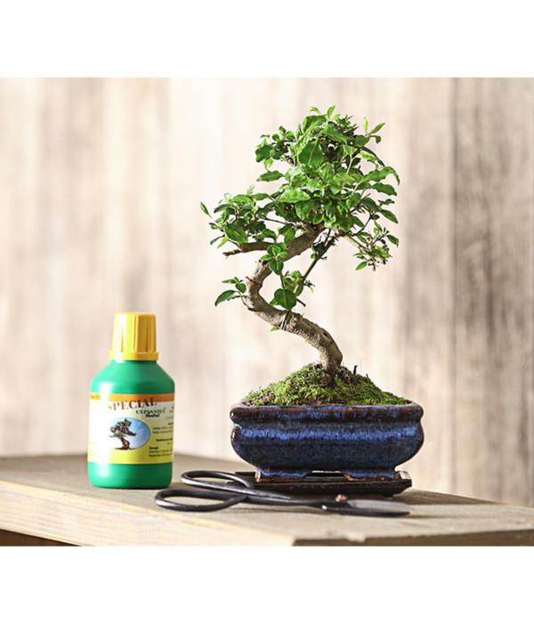 Bonsai Anfänger bonsai anfänger-geschenkset - chinesischer liguster von dehner